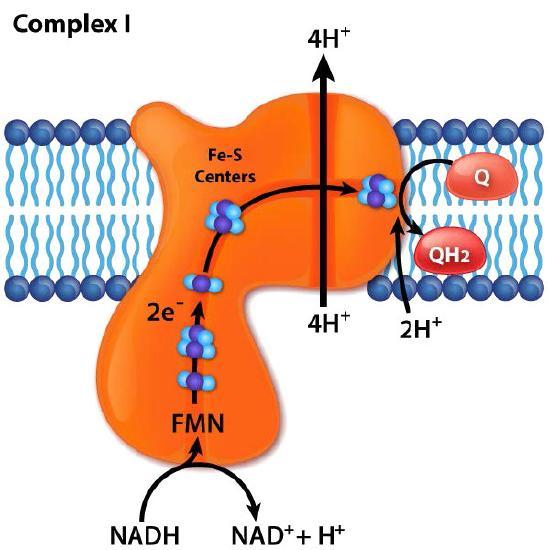 5.2: Electron Transport & Oxidative Phosphorylation
