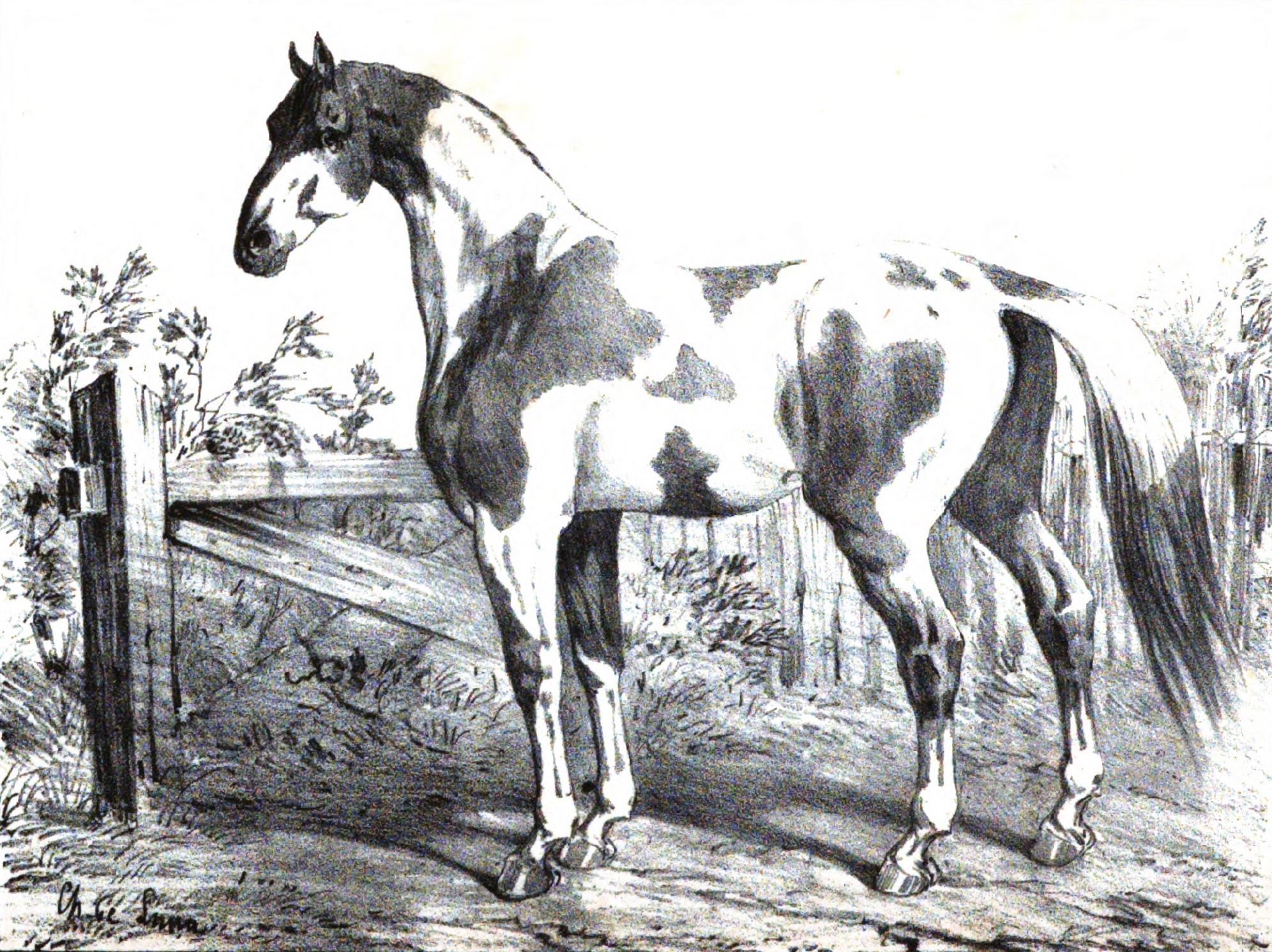 Cheval de Dongolah