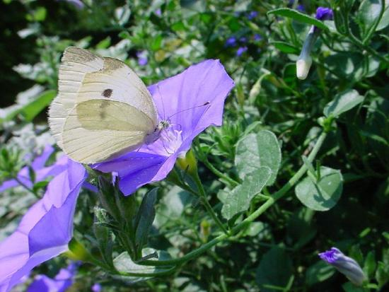 butterfly and bluish purple flower