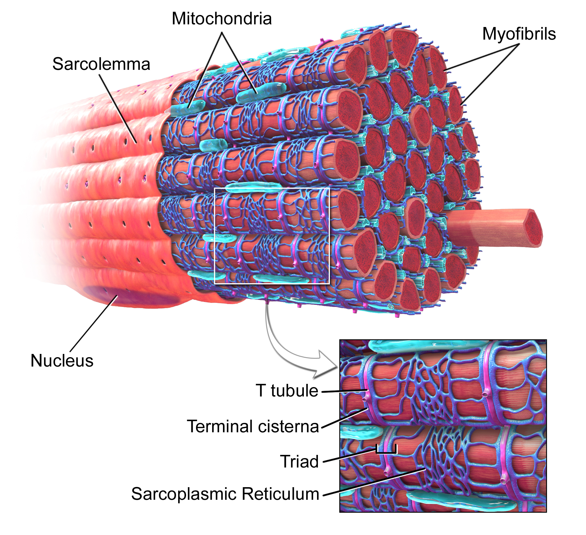 Skeletal Muscle fiber with T-tubules