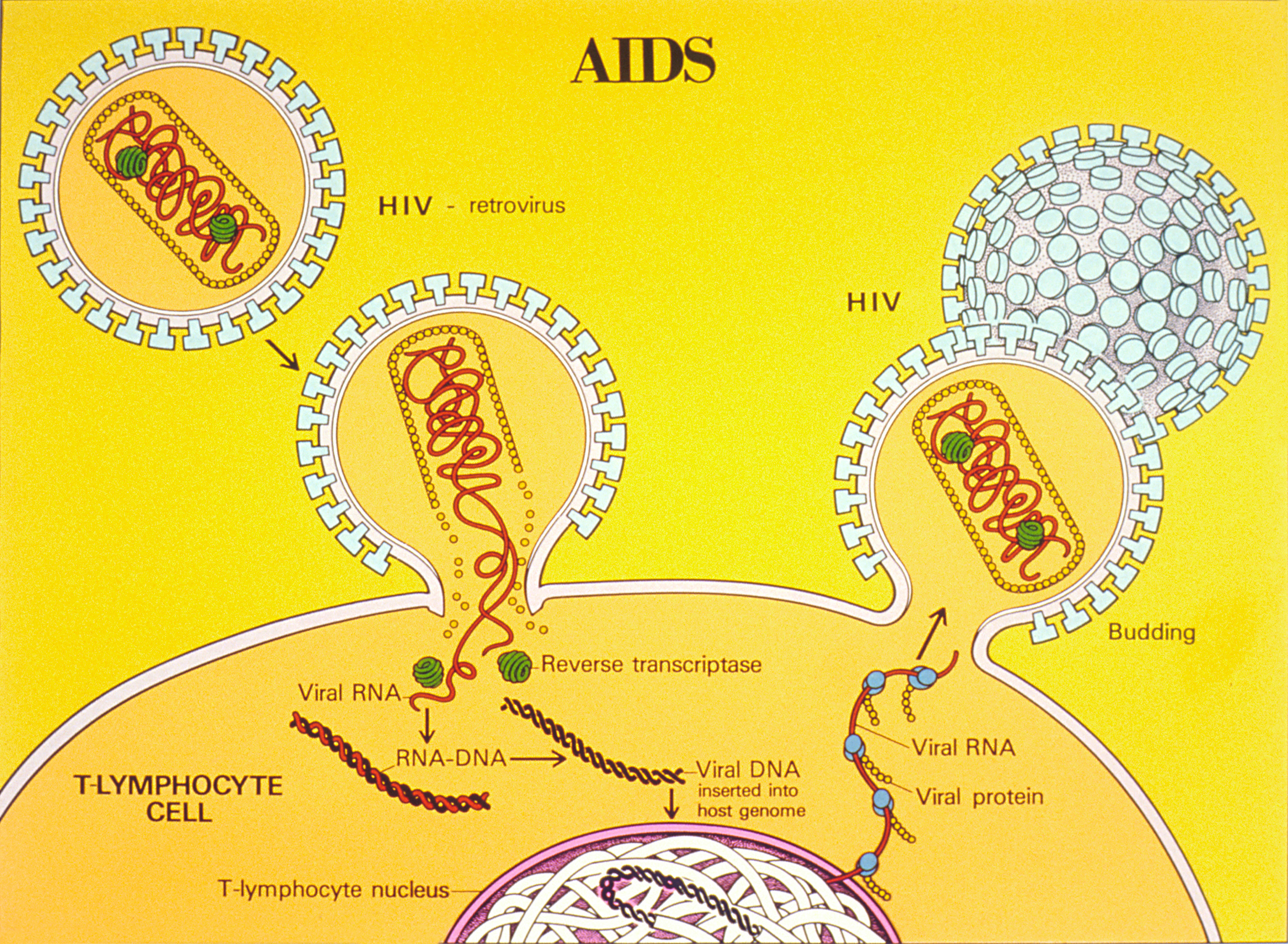 AIDS life cycle illustration