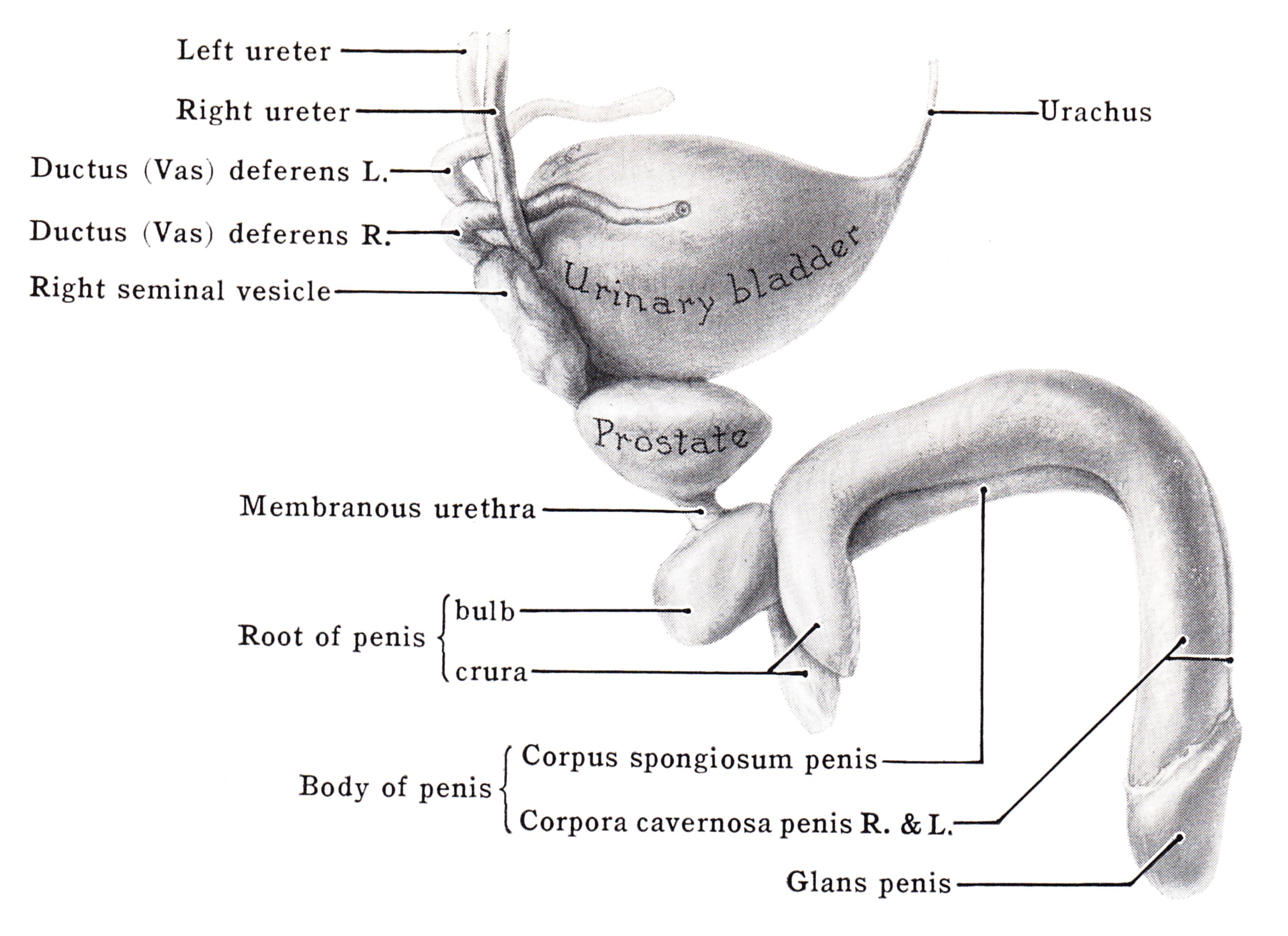 penis spongy bodies
