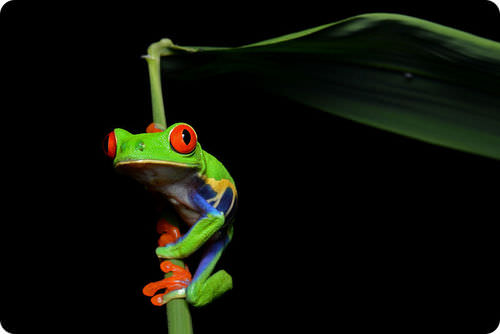 Frog living in a banana tree