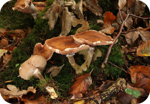 """Giant """"humongous fungus"""" can cover vast areas"""