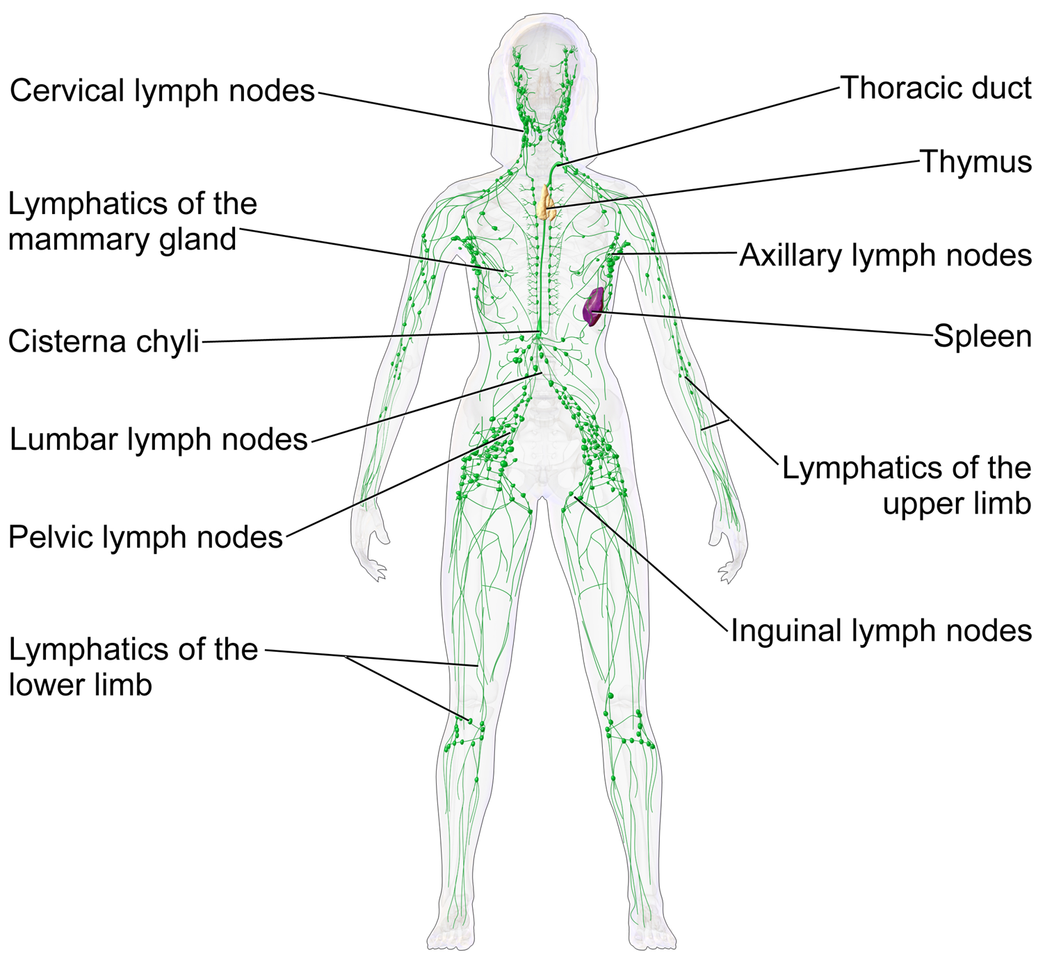 Lymphatic organs and vessels