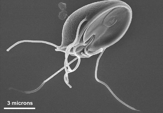 Giardia with long flagella