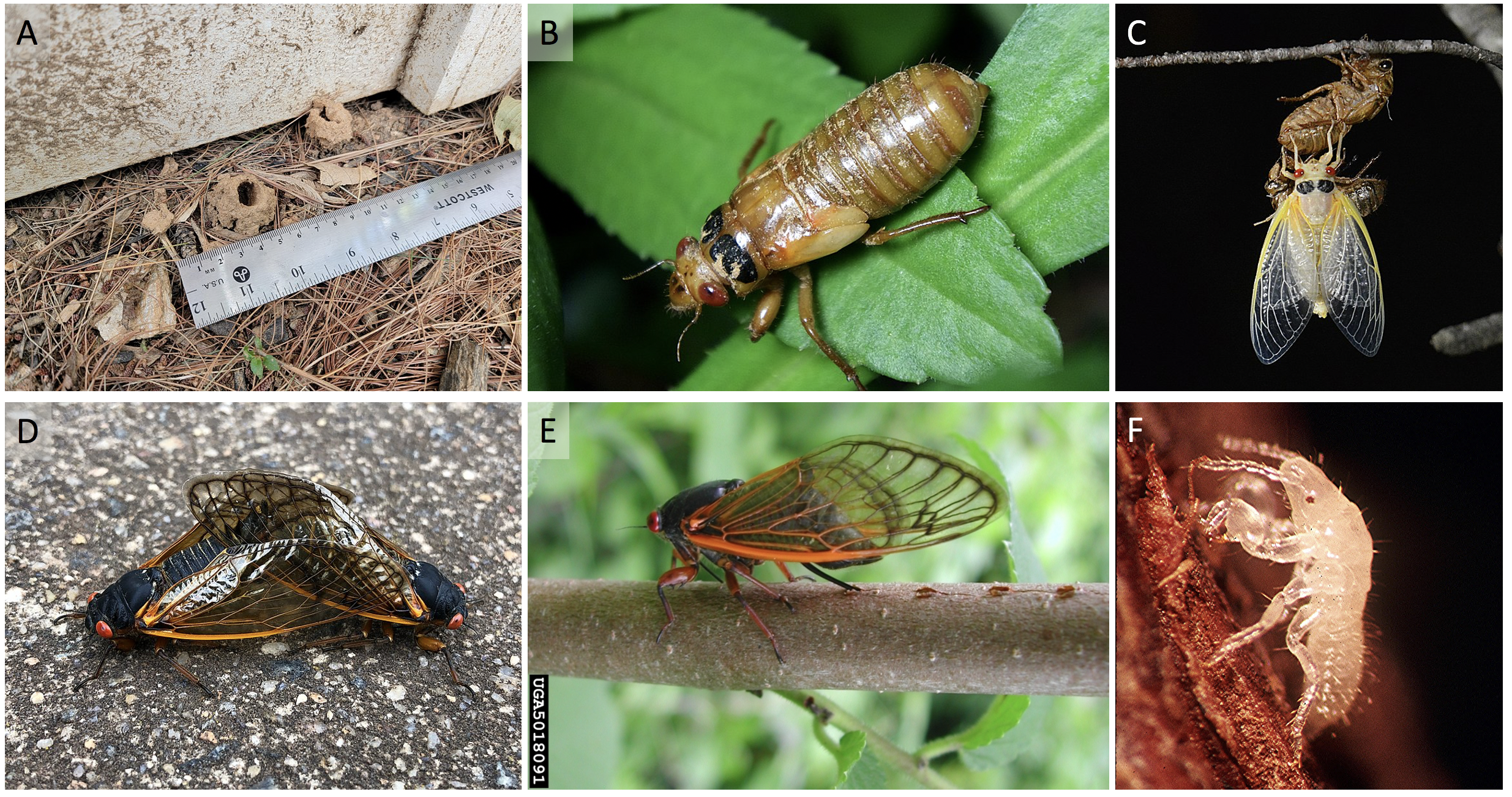 CicadaLifeCycle.png