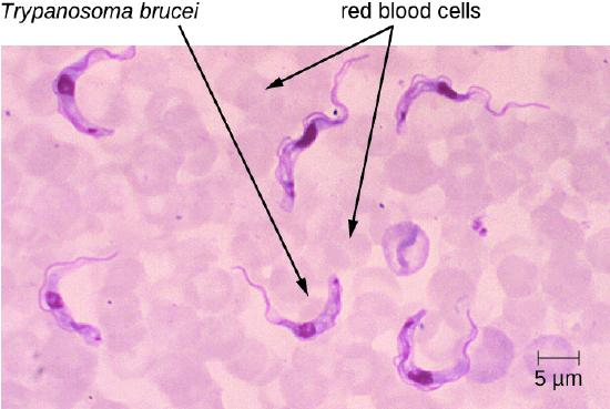 Micrograph of red circles labeled red blood cells and worm-shaped cells labeled Trypanosoma brucei.